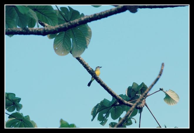 Tropical Kingbird in a Secropia