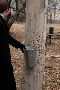 Tapping the tree for syrup